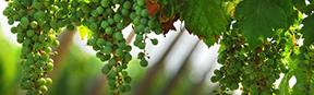 dégustation vins siciliens
