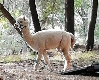 etna 3 alpaca